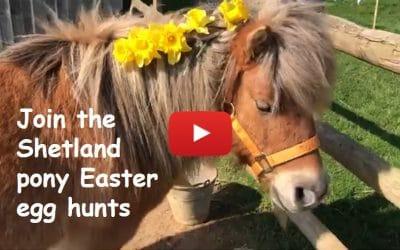 Join the Shetland pony Easter egg hunts
