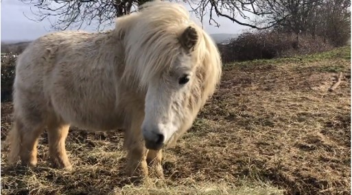 Tintin - pony at Shetland Pony Club