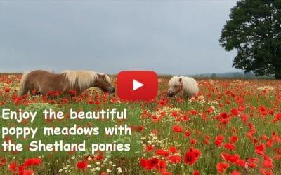 Enjoy the beautiful poppy meadows with the Shetland ponies