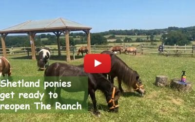 Shetland ponies get ready to reopen The Ranch