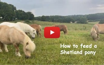 How to feed a Shetland pony