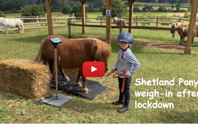 Shetland Pony weigh-in after lockdown