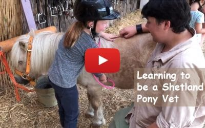 Learning to be a Shetland Pony Vet
