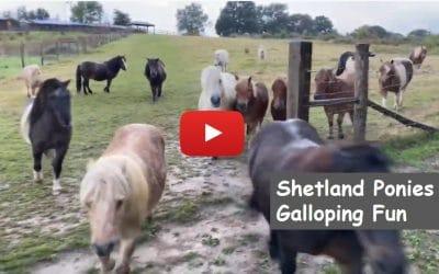 Shetland Ponies Galloping Fun