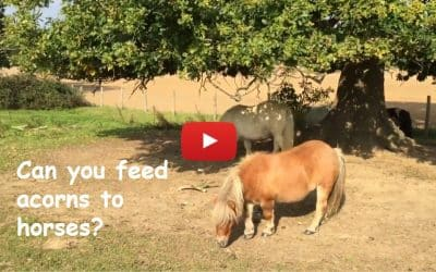 Can you feed acorns to horses?