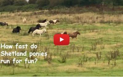 How fast do Shetland ponies run for fun?