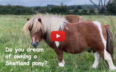 Do you dream of owning a Shetland pony?
