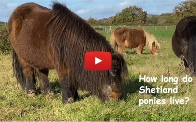How long do Shetland ponies live?