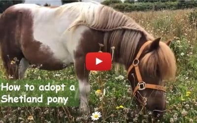 How to adopt a Shetland pony – perfect for Christmas