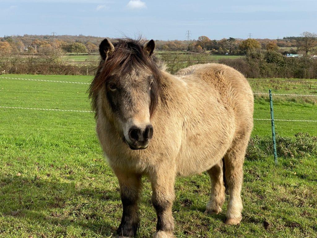 Fudge - pony at Shetland Pony Club