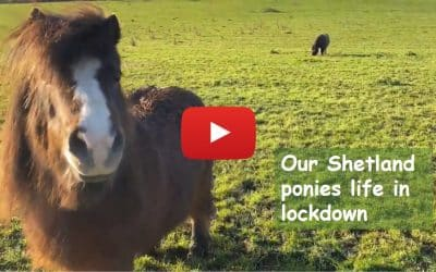 Our Shetland ponies life in lockdown