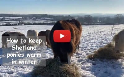 How to keep Shetland ponies warm in winter