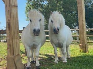 Tintin and Snowdrop at Shetland Pony Club