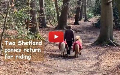 Two Shetland ponies return for riding