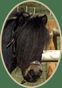 Balmoral Shetland Pony