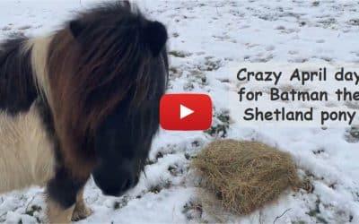 Crazy April day for Batman the Shetland pony