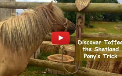 Discover Toffee the Shetland Pony's Trick