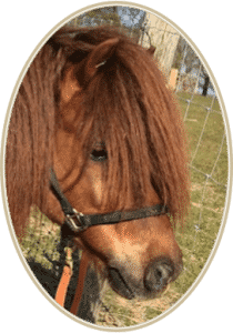 Mufasa Shetland Pony
