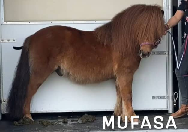 Mufasa - pony at Shetland Pony Club