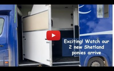Exciting! Watch our 2 new Shetland ponies arrive