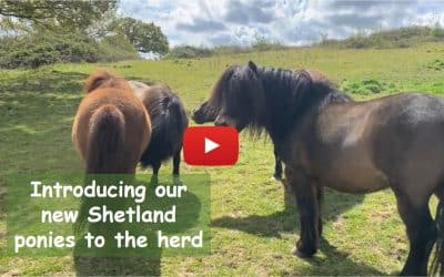 Introducing our new Shetland ponies to the herd