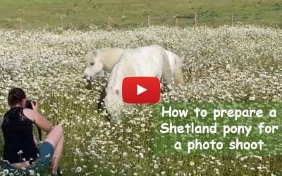 How to prepare a Shetland pony for a photo shoot