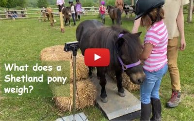 What does a Shetland pony weigh?