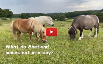 What do Shetland ponies eat in a day?