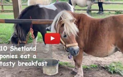 10 Shetland ponies eat a tasty breakfast