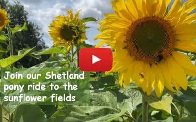 Join our Shetland pony ride to the sunflower fields