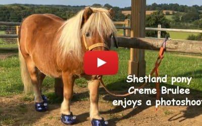 Shetland pony Creme Brulee enjoys a photoshoot