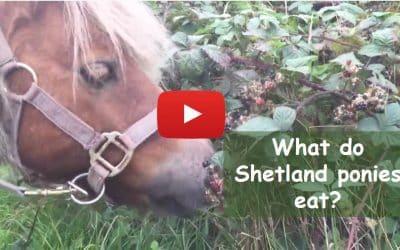 What do Shetland ponies eat?