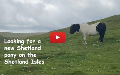Looking for a new Shetland pony on the Shetland Isles – Part 1