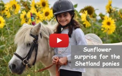 Sunflower surprise for the Shetland ponies
