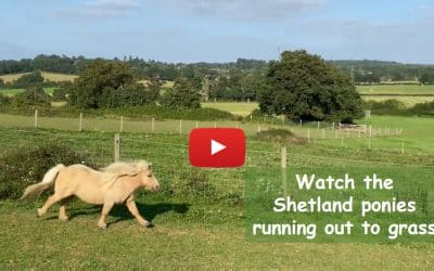 Watch the Shetland ponies running out to grass