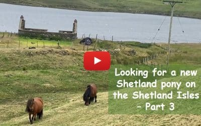 Looking for a new Shetland pony on the Shetland Isles – Part 3