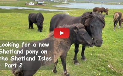 Looking for a new Shetland pony on the Shetland Isles – Part 2